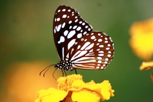 BUTTERFLY by Diganta Talukdar on flickr