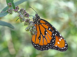 Butterfly by snowpeak on flickr