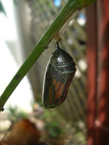 Chrysalis of the Monarch Butterfly close to hatching by Lynda W1 on flickr