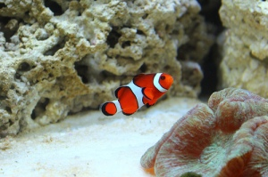 Clownfish by aquarist.me on flickr