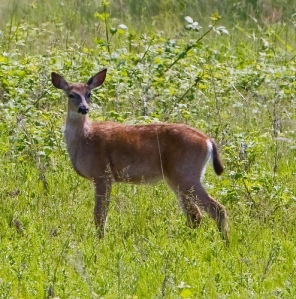 doe by R0Ng on flickr