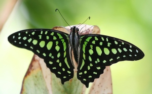 Unknown Butterfly (Black with Green Spots) by Ber'Zophus on flickr